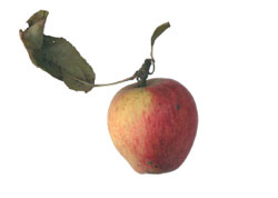 fi-all-apples-of-one-tree-2